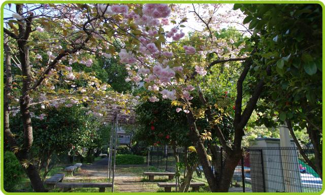 ちびっこプール横の桜、藤など