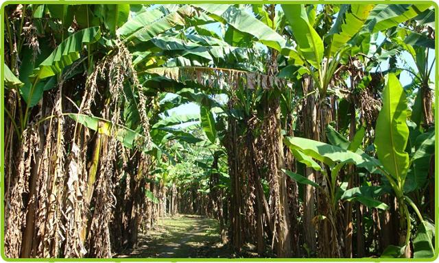ジャングル気分の芭蕉園