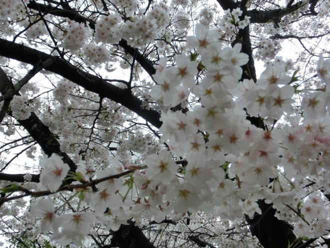 サクラ0320(水前寺地区の桜)