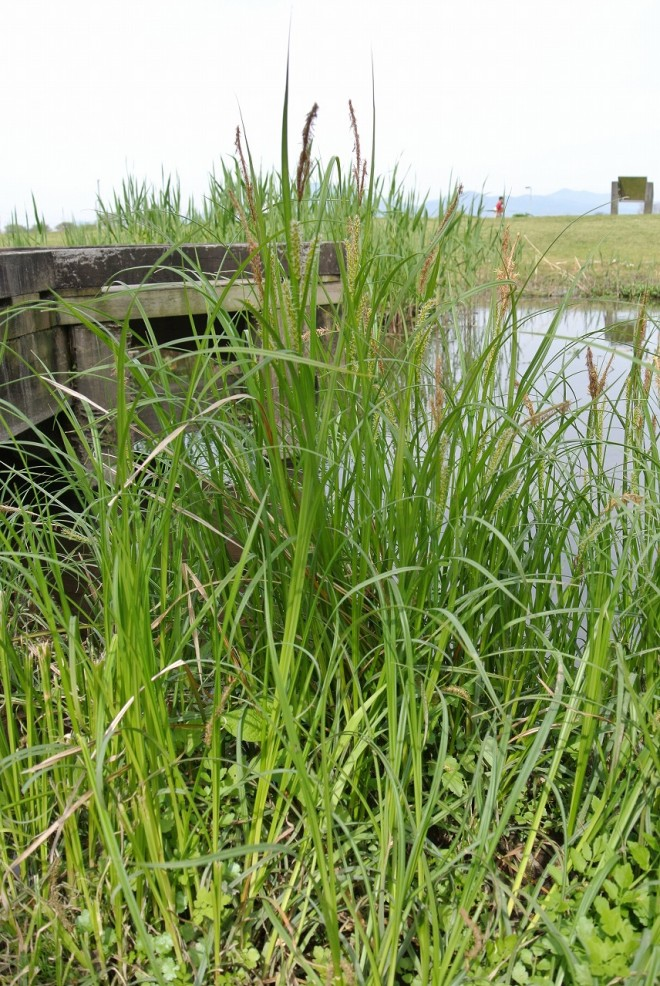 江津湖の希少植物1