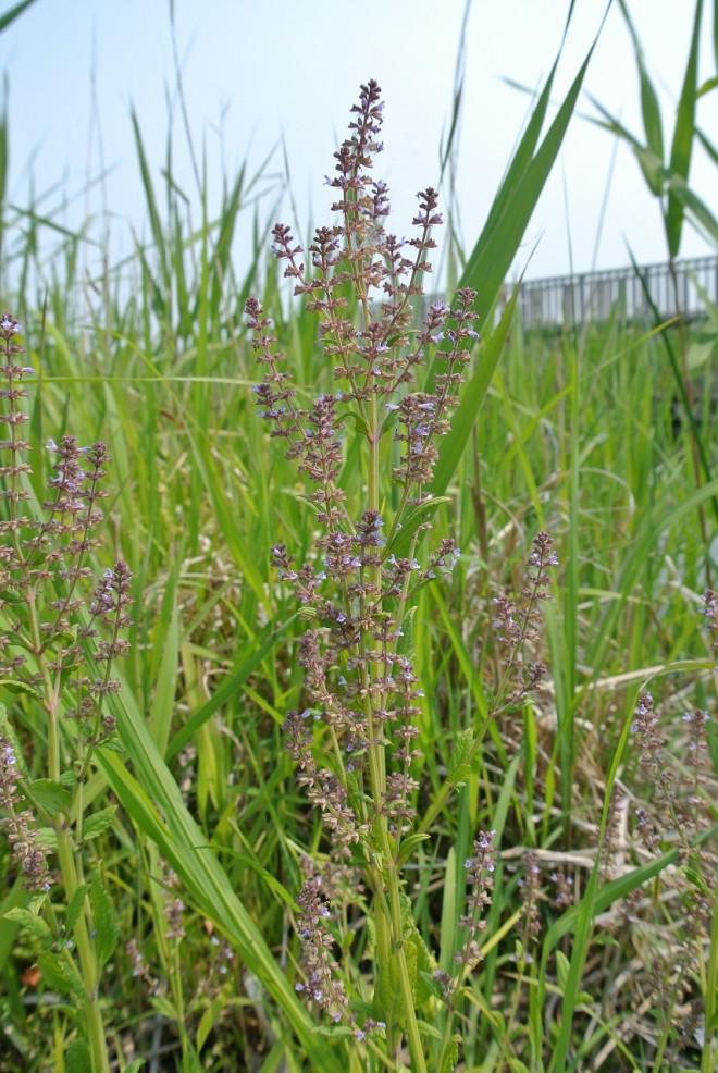 江津湖の希少植物4