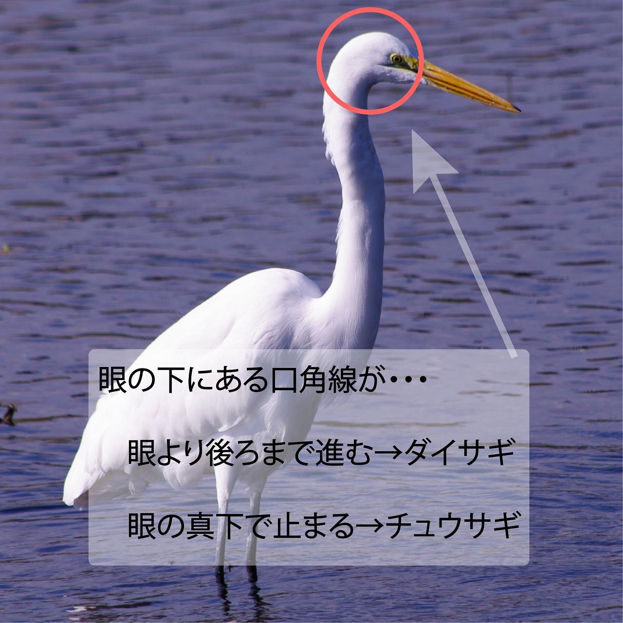 ダイサギ(大鷺)