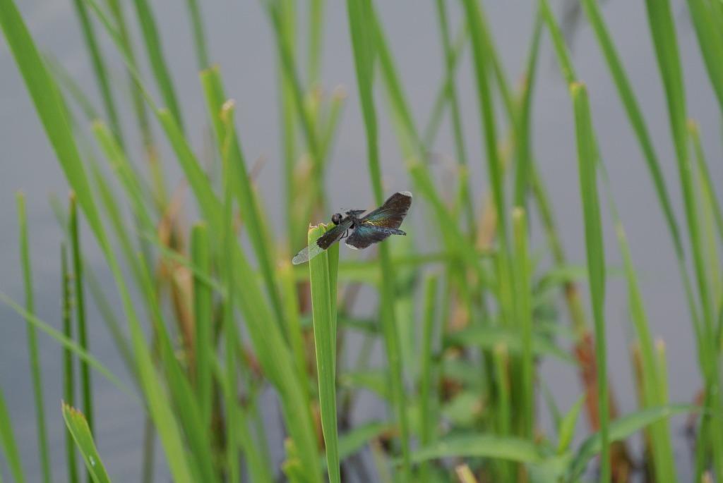 チョウトンボ(蝶蜻蛉)