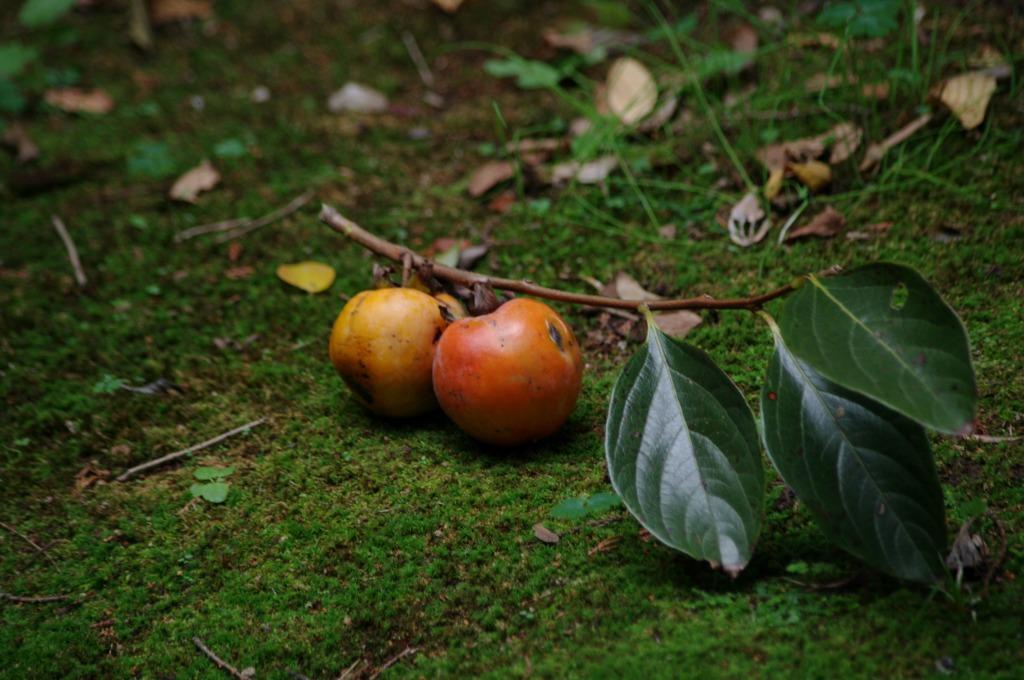 柿食えば (4)