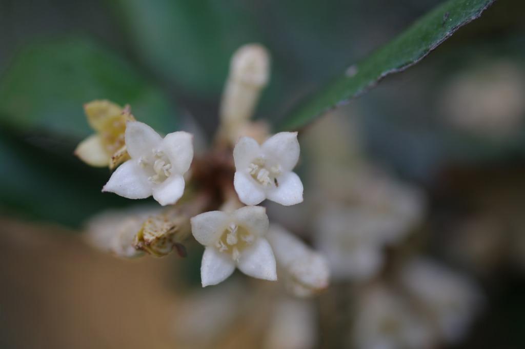 ナワシログミの花 (2)