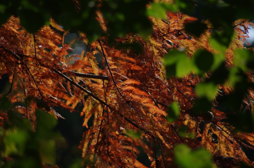 ラクウショウ(落羽松)の紅葉