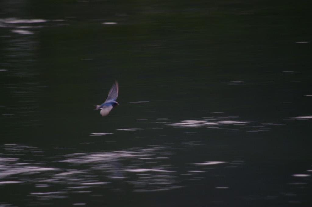 冬のツバメ (2)