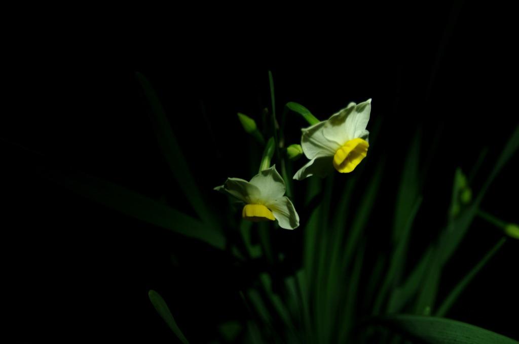 冬の花・ニホンズイセン(日本水仙)