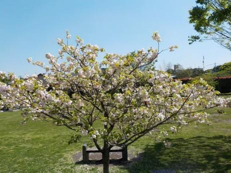150417水前寺地区八重桜 (5)