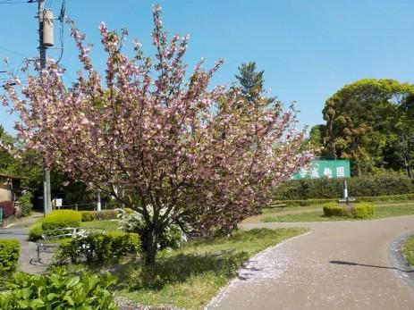 150417水前寺地区八重桜 (1)