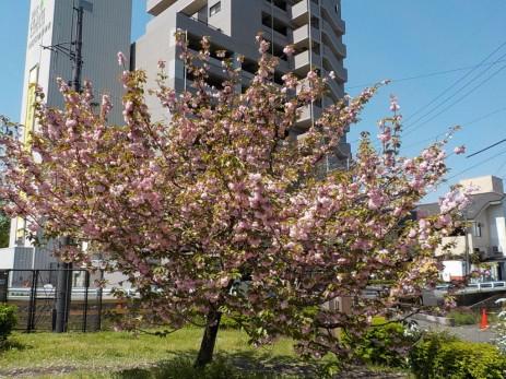 150417水前寺地区八重桜 (4)