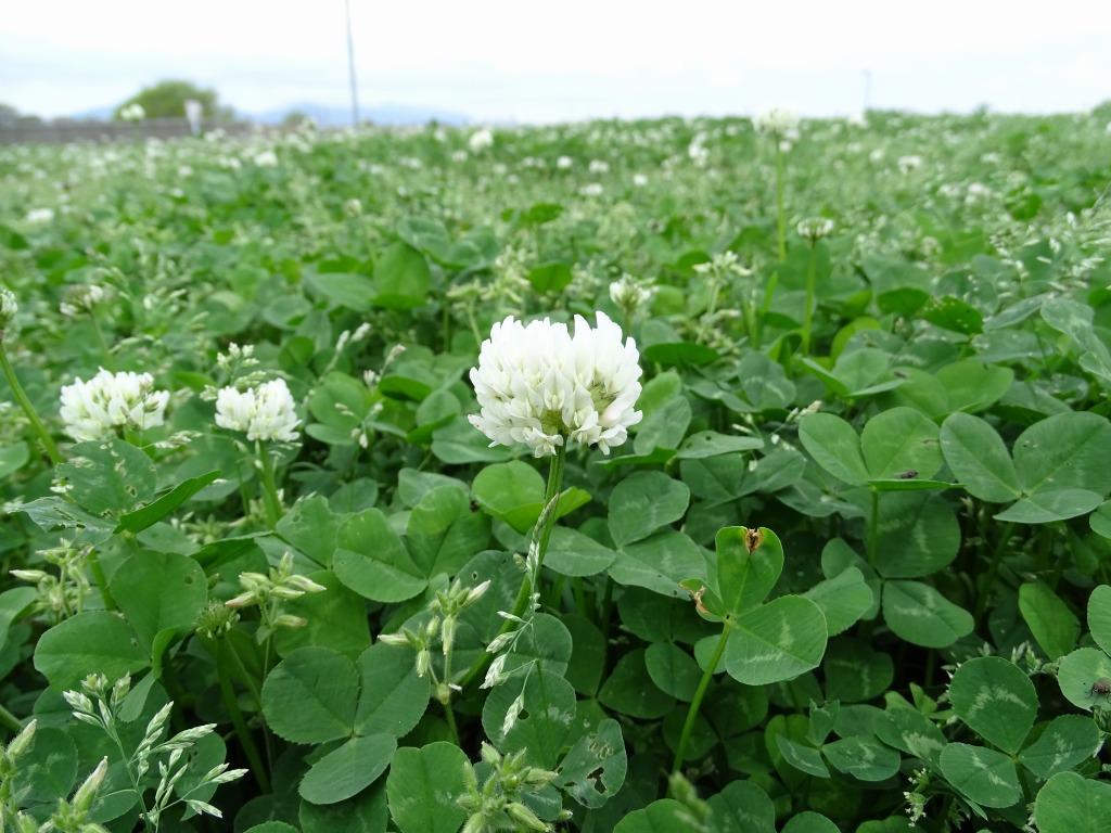 シロツメクサ(白詰草)が咲き始めました♪