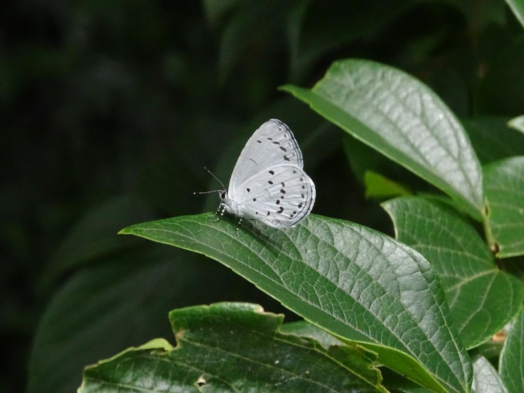 サツマシジミ(薩摩小灰蝶)