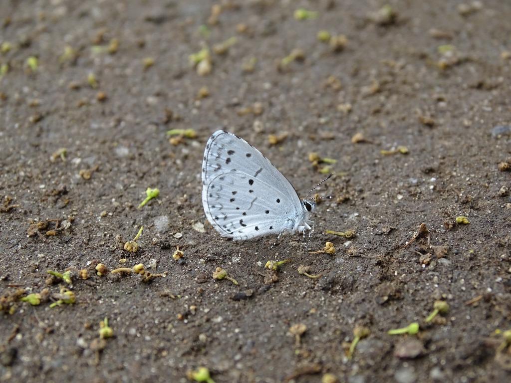 ヤクシマルリシジミ(屋久島瑠璃小灰蝶)