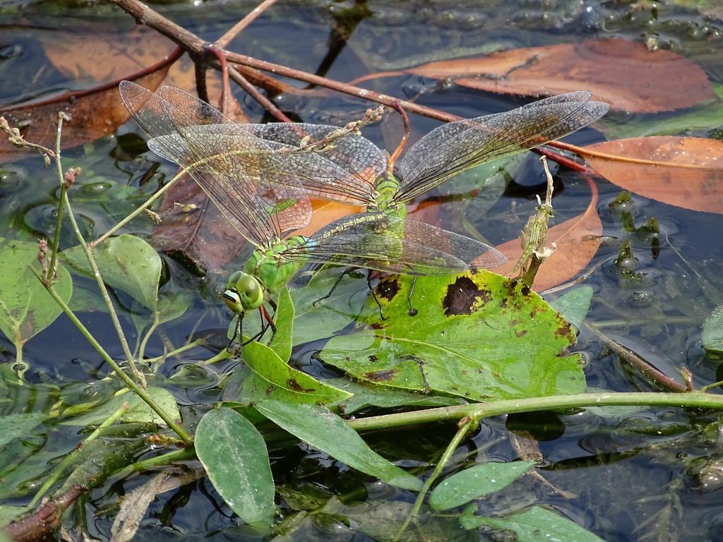 ギンヤンマ(銀蜻蜓)