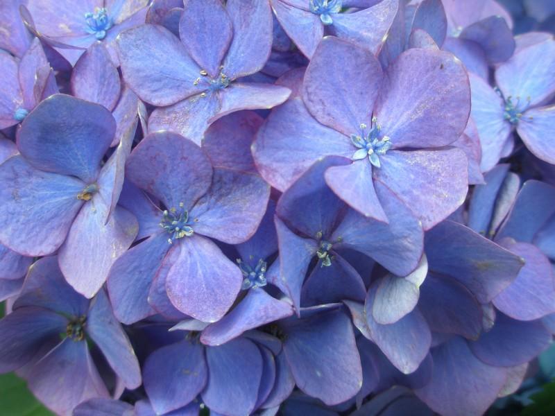 アジサイの「花」