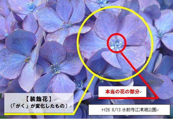 ガク アジサイ 花