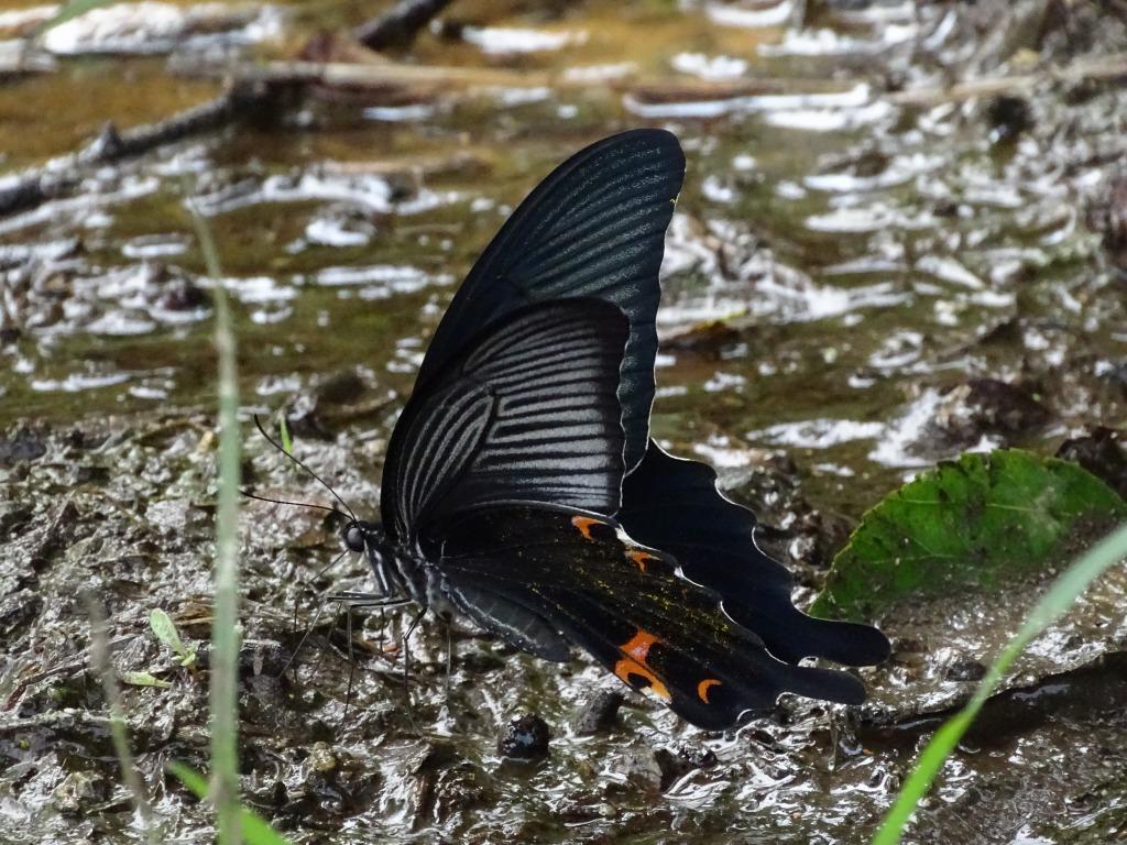 クロアゲハ(黒揚羽)