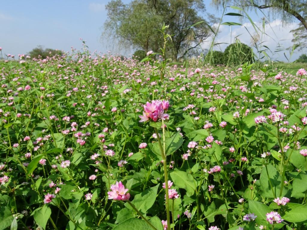 ミゾソバ(溝蕎麦)の花が見頃です♪