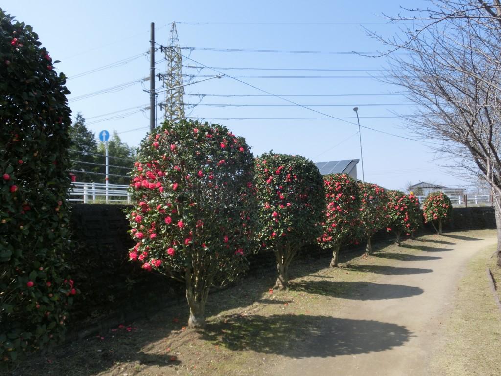 オトメツバキ(乙女椿)