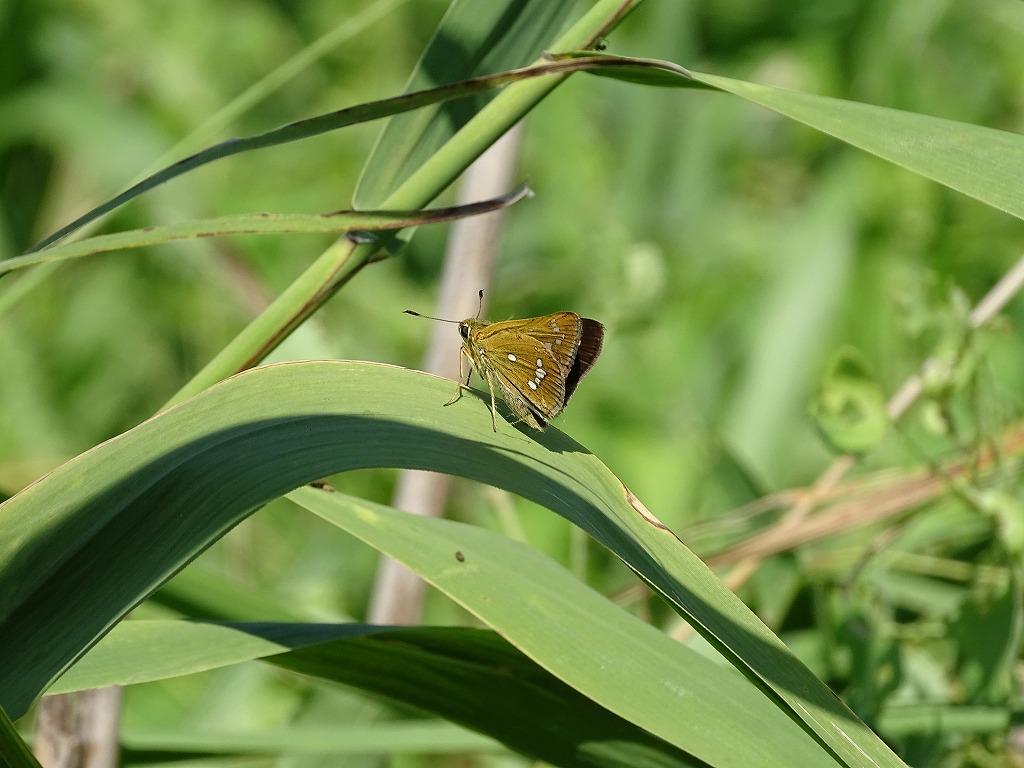 ミヤマチャバネセセリ(深山茶羽挵)