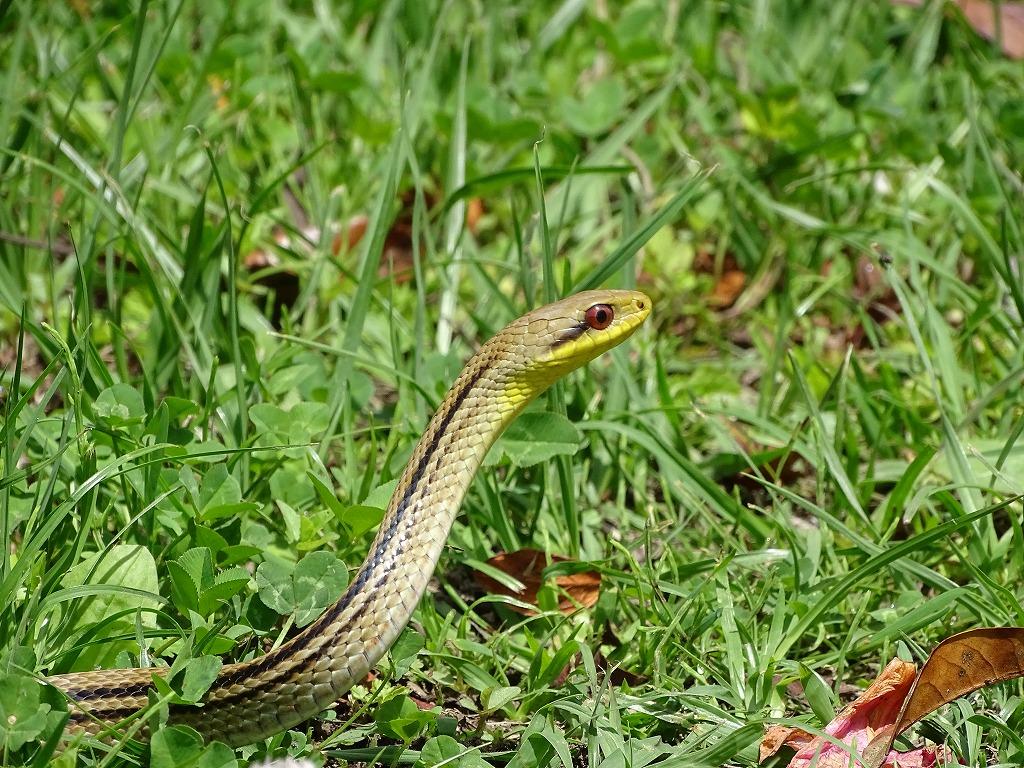 シマヘビ(縞蛇)