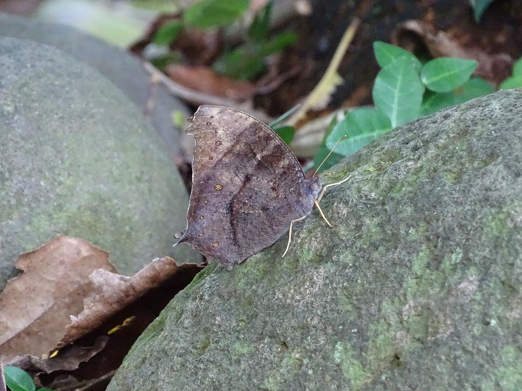クロコノマチョウ(黒木間蝶)